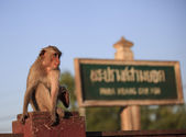 Monkey in Lop Buri Province Thailand — Stock Photo