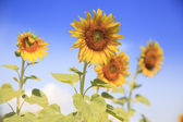 Sunflowers and blue sky — Stock Photo