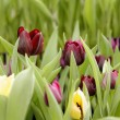 Tulips flowers — Stock Photo #26376739