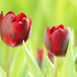 fleurs de tulipes — Photo