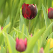 Foto Stock: Tulips flowers