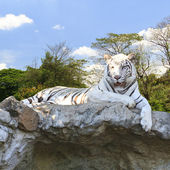 White tiger in the forest — Stock Photo