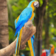 Macaw birds — Stock Photo