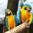 Macaw birds — Stock Photo #28547185