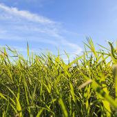 трава в сельской местности с голубым небом — Стоковое фото
