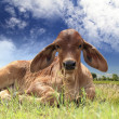 Calf on grass field — Stock Photo