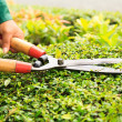Hands cuts green bush with scissors — Stock Photo #29324213