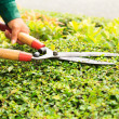 Hands cuts green bush with scissors — Stock Photo #29324271
