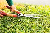 Hands cuts green bush with scissors — Stock Photo