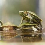 Baby turtles — Stock Photo