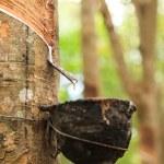 Milk of rubber tree — Stock Photo #49336469
