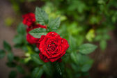 Beautiful red rose with rain drop — Stock Photo