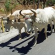 Ox cart in central america — Stock Photo