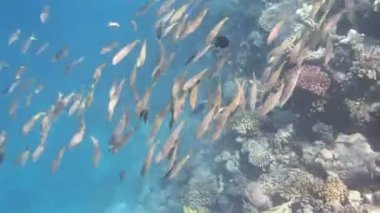 Snorkeling in the red sea — Stock Video