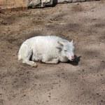 Mountain goat — Stock Photo #28587149
