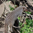 Mongoose tabby — Stock Photo