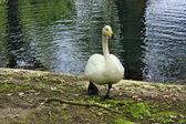Walk swan — Stock Photo
