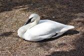 Лебедь — Стоковое фото