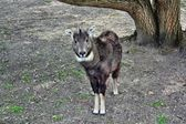 Chinese goral — Stock Photo