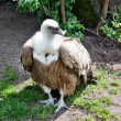 Stock Photo: Vulture gyps fulvus