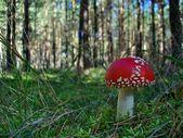 Toxic mushroom amanita muscaria — Stock Photo