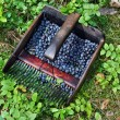 A comb to harvest berries — 图库照片