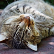 Sleepy cat — Stock Photo #29826843