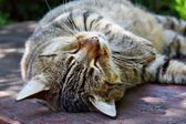 Sleepy cat — Stock Photo
