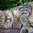 gros chat — Photo