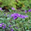 Stock Photo: Verbena