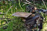 Mushroom parasite — Stock Photo