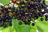 Elderberry — Stock Photo