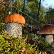 Stok fotoğraf: Mushrooms leccinum versipelle and boletus edulis