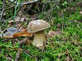 Mushroom tylopilus felleus — Stock Photo