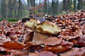 Bitten by slugs mushroom — Stock Photo