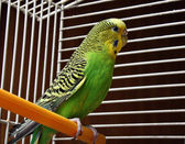 Yellow green wavy parrot — Stockfoto