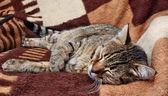Resting cat — Stok fotoğraf