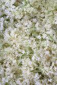 Flores de saúco — Foto de Stock