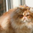 Persian cat — Stock Photo #26472953