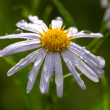 Daisy flower close up — Stock Photo