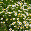 Filed of chamomile flowers — Stock Photo