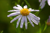 Daisy flower close up — Foto de Stock