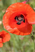 Poppy close up photo — Stock Photo