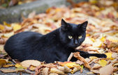 Black cat in autumn leaves close up photo. Animal portrait — Stock Photo