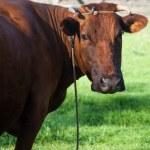 Cow portrait close up outdoors — Stock Photo #45236901