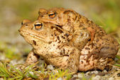 Common toad — Stock Photo
