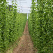 Stock Photo: Hops field