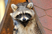 Raccoon — Stock fotografie
