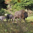 European Bison herd — Stock Photo