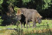 European Bison herd — Stock Photo